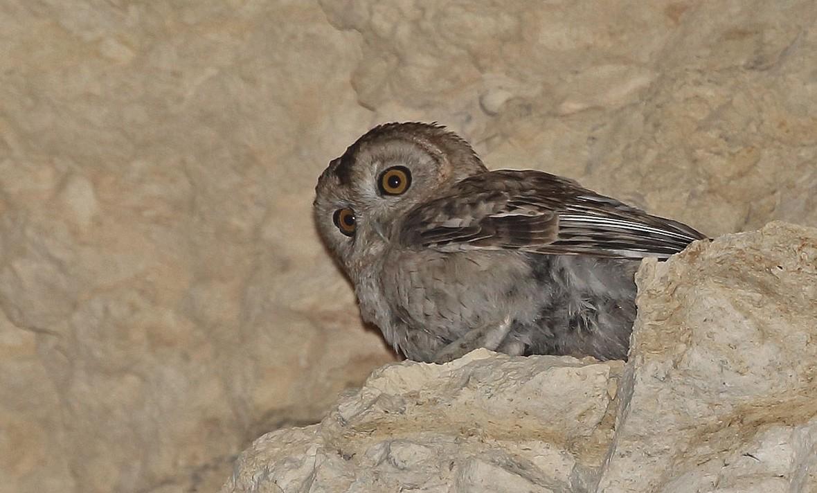Desert Owl (Strix hadorami) by Jens Eriksen (ML63556211)
